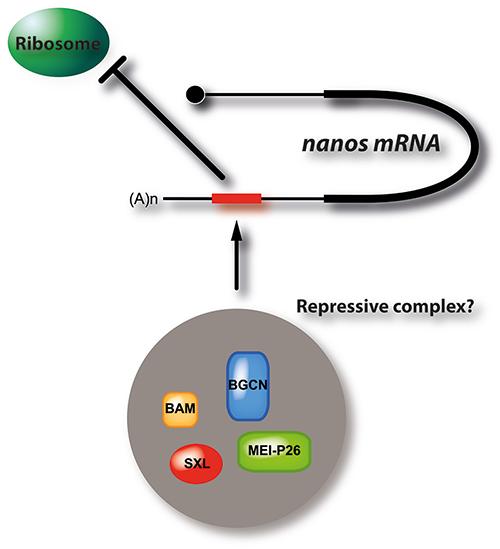 Bild-3-Nanos-repressive-complex-schematics